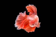 Rörelse av den Betta fisken som är siamese Arkivbilder