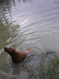 Rörelse av den bruna framsidahunden Royaltyfri Bild