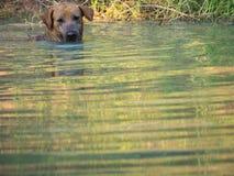 Rörelse av den bruna hunden Fotografering för Bildbyråer