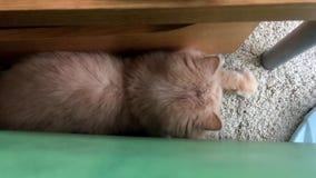 Rörelse av den persiska katten som spelar belysningfläcken med folk stock video