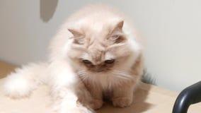 Rörelse av den persiska katten som stirrar på folk på asken stock video