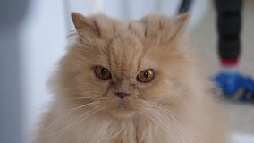 Rörelse av den persiska katten som stirrar på folk på golv arkivfilmer
