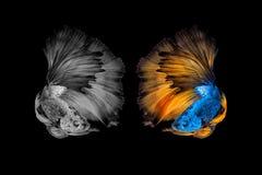 Rörelse för abstrakt konst av den färgglade Betta fisken Fotografering för Bildbyråer