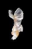 Rörelse för abstrakt konst av den färgglade Betta fisken Royaltyfri Bild