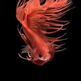 Rörelse för abstrakt konst av den färgglade Betta fisken Arkivfoto