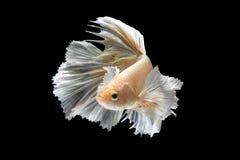 Rörelse för abstrakt konst av den färgglade Betta fisken Royaltyfri Fotografi