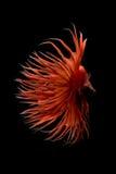 Rörelse för abstrakt konst av den färgglade Betta fisken Royaltyfria Foton