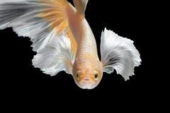 Rörelse för abstrakt konst av den färgglade Betta fisken Royaltyfri Foto