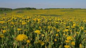 Rörelsekameran till och med gult blommande fält av miljonermaskrosen blommar arkivfilmer
