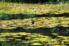 Rörhöna på waterlilies Arkivbild