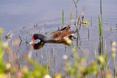 Rörhöna som äter och simmar Royaltyfri Foto