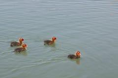 Rörhönafågelungar som bara simmar Arkivbilder