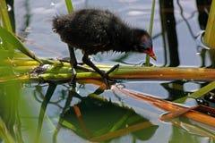 Rörhönafågelunge efter ett bad, London Fotografering för Bildbyråer