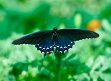Rörledning Swallowtail royaltyfri foto