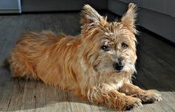 Röse Terrier Arkivbild
