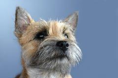 Röse Terrier Royaltyfri Fotografi