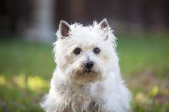 Röse Terrier som utomhus poserar Arkivbild