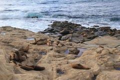 Röst- sjölejon som tillsammans samlas på kanten av havstranden Arkivbilder