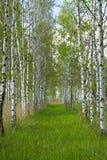 Röten in einem Birkenholz stockfotografie