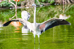 Rötlich-weißer Flamingovogel lizenzfreie stockfotos