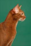 Rötliche abyssinische Katze Lizenzfreie Stockfotografie