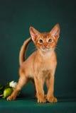 Rötliche abyssinische Katze auf dunkelgrünem Hintergrund Stockfotografie