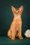 Rötliche abyssinische Katze auf dunkelgrünem Hintergrund Stockbild