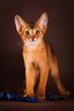 Rötliche abyssinische Katze auf dunkelgrünem Hintergrund Lizenzfreie Stockfotos