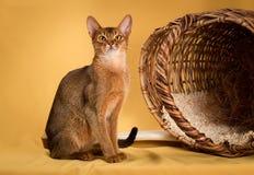 Rötliche abyssinische Katze auf gelbem Hintergrund Lizenzfreie Stockfotos