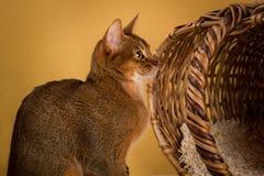 Rötliche abyssinische Katze auf gelbem Hintergrund Stockfoto