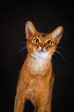 Rötliche abyssinische Katze auf schwarzem braunem Hintergrund Stockbilder
