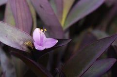 Rötliche purpurrote Blume von Setcreasea-pallida 'Purple Heart' Stockbild