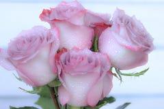 Rötliche purpurrote Rosen mit Regentropfen stockfotos