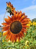 Rötliche Sonnenblumen am Falltag in Littleton, Massachusetts, Middlesex County, Vereinigte Staaten Neu-England Fall stockfoto