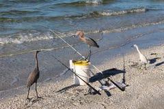 Rötlicher Reiher mit gestohlenen Fischen Stockbild