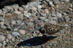 Rötlicher Turnstone stockfoto