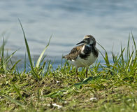 Rötlicher Turnstone Stockfotos