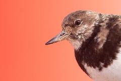 Rötlicher Turnstone (Arenaria interpres) lizenzfreie stockbilder