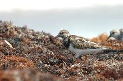 Rötlicher Turnstone-Vogel Lizenzfreies Stockfoto