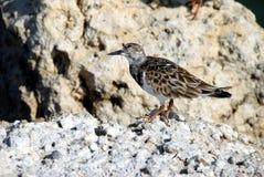 Rötlicher Turnstone-watende Vögel stockfotos