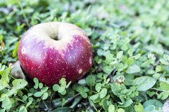 Rött äpple över gräs arkivfoton