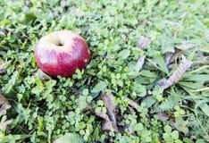 Rött äpple över gräs arkivbilder