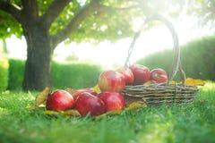 Rött äpple i en korg Arkivfoto