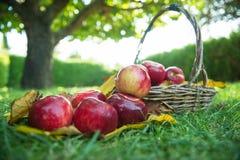 Rött äpple i en korg Arkivbild