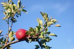 Rött äpple i höst Arkivbilder