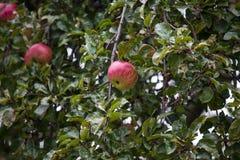 Rött äpple med gulingband i träd Royaltyfri Fotografi