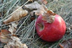 Rött äpple på det torra gräset bland de stupade höstsidorna Arkivbilder