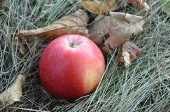 Rött äpple på det torra gräset bland de stupade höstsidorna Royaltyfria Foton