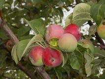 Rött äpple på en filial Arkivbild