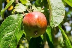 Rött äpple på en filial av äppleträdet på en solig dag Organisk lantgård Royaltyfria Bilder